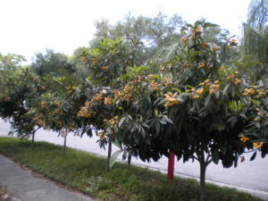 Loquat Trees with Fruit
