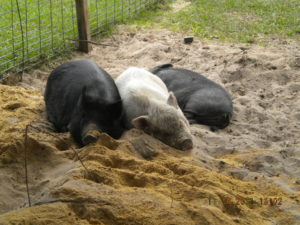 Pigs at Rest