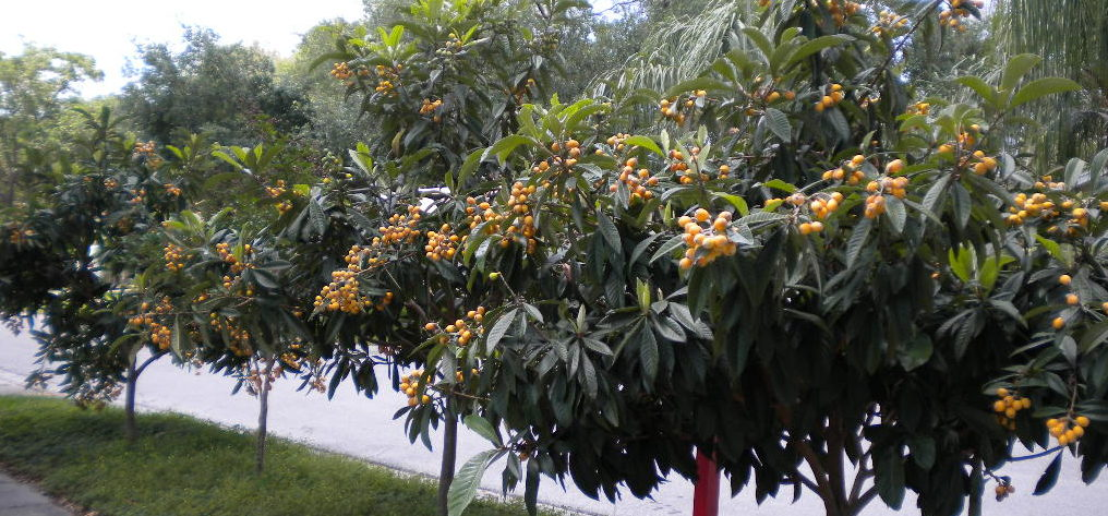 Loquat-Trees-with-Fruit